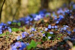 Blossoming цветок hepatica в предыдущей весне стоковые фото