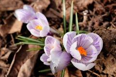 Blossoming шарики крокуса ` Pickwick ` крокуса голландские Стоковое Фото