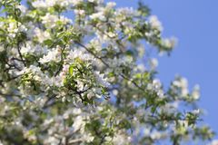 Blossoming яблоко и голубое небо, яркая свежая предпосылка весны стоковое изображение rf