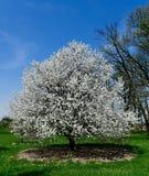 Blossoming яблоня краба стоковая фотография rf