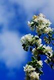 blossoming яблока тюльпаны красной весны сада цветков вишни близкие поднимают белизну Стоковая Фотография RF