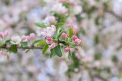 blossoming яблока стоковая фотография