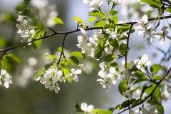 Blossoming яблони Стоковые Фотографии RF