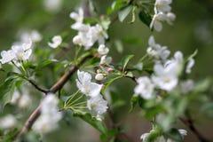 Blossoming яблони Стоковое фото RF