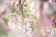 Blossoming яблони Стоковые Изображения