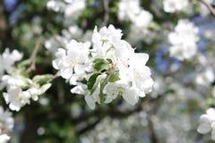 Blossoming яблоня в мае в Москве Стоковая Фотография