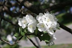 Blossoming яблоня в мае в Москве Стоковые Изображения