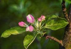 Blossoming яблоня Стоковые Изображения