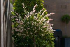 Blossoming японская верба с цвета мех листьями стоковая фотография