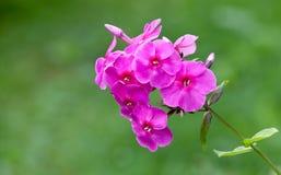 Blossoming яркие розовые цветки phlox Стоковая Фотография RF