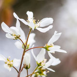 Blossoming. The springtime blossom of a garden tree stock photography