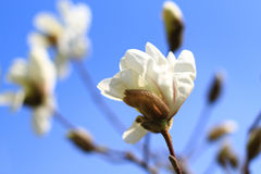 blossoming дерева магнолии Стоковое фото RF