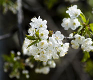 Blossoming Royalty Free Stock Image