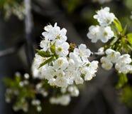 blossoming Стоковое Изображение RF