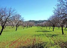 blossoming миндальные деревья Стоковое Изображение RF