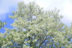 Blossoming Acacia. On a beautiful spring day Stock Photo