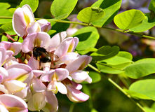 Blossoming acacia and bumblebee collecting nectar Royalty Free Stock Images