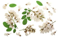 Blossoming acacia with leafs isolated on white background, Acacia flowers, Robinia pseudoacacia . White acacia Stock Images