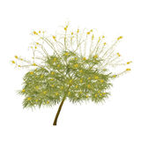 The blossoming acacia in the summer Stock Image