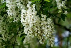 Blossoming acacia. The symbol of the will to life and rebirth. White garlands of inflorescences are elegant and fragrant Royalty Free Stock Photography