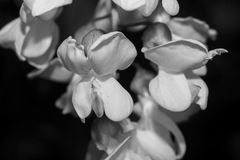 Blossoming acacia tree flowers, in black and white. Macro Stock Image