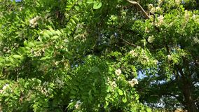 Blossoming acacia tree, top view stock video