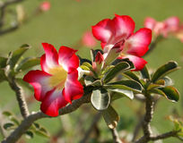 Blossoming of Adenium. Adenium obesum, The Grand Palace, Bangkok Royalty Free Stock Images