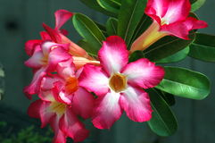 Blossoming of Adenium. In Thailand Royalty Free Stock Photography