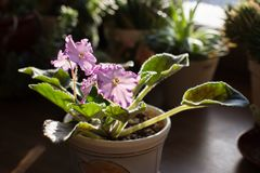 Blossoming African Violets - sort Austin's Smile in the house with wood background royalty free stock images