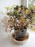Blossoming Aichryson on windowsill Stock Photos