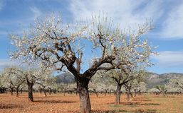 Blossoming almon tree field. Almond tree blossoming during late winter in Mallorca countryside, on the Spanish Balearic islands Stock Images