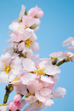 Blossoming almond. Stock Photography