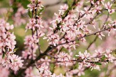 Blossoming Almond Branch Royalty Free Stock Photography
