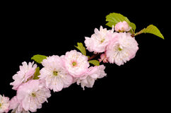Blossoming Almond branch Stock Photos