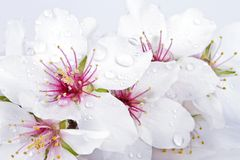 Blossoming almond flowers Stock Image