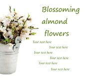 Blossoming almond flowers bouquet Royalty Free Stock Photos
