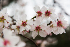 Blossoming almond flowers Stock Photo