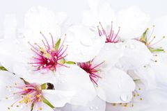 Blossoming almond flowers close up Royalty Free Stock Photo