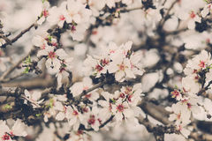 Blossoming almond flowers Royalty Free Stock Photography