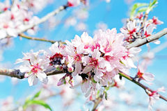 Blossoming almond flowers in spring Royalty Free Stock Images