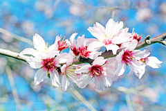 Blossoming almond flowers in spring Royalty Free Stock Photo