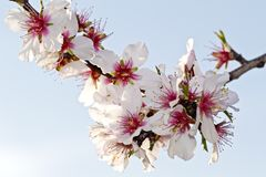 Blossoming almond flowers in springtime Stock Images