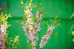 Blossoming almond steppe Stock Photos