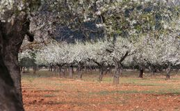 Blossoming almond tree field. Almond tree blossoming during late winter in Mallorca countryside, on the Spanish Balearic islands Stock Photography