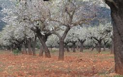 Blossoming almond tree field in mallorca. Almond tree blossoming during late winter in Mallorca countryside, on the Spanish Balearic islands Royalty Free Stock Images