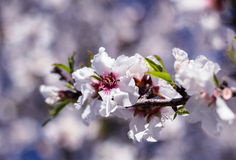 Blossoming almond tree flowers in springtime Royalty Free Stock Image