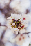 Blossoming almond tree flowers in springtime Royalty Free Stock Photo