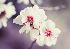 Blossoming almond tree flowers in springtime Stock Images