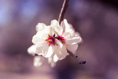 Blossoming almond tree flowers in springtime Stock Photography