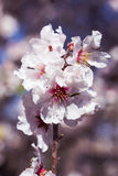Blossoming almond tree flowers in springtime Stock Image